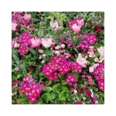 Les parterres fleuris revivent les couleurs éclatent et remettent du baume au cœur. Je lâche les pinceaux Bon dimanche . #pinkflowers  #enjoythemoment