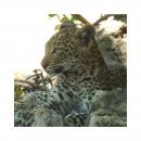 Un petit break de 10 jours vers le #Botswana pour l'atelier,  hors du temps hors de notre vie .... Un magnifique séjour réalisé grâce à @africacoeursafaris. Des images et des émotions plein la tête. Pour en retrouver quelques unes découvrez l 'album Botswana en Story à la Une. Et si vous en avez envie laissez vous tenter ce n' est que du bonheur. Je retrouverai mes pinceaux dès mardi matin et prendrai plus de temps pour répondre à tous les messages. #leopardbaby #wildlife #socute😍 #leopard